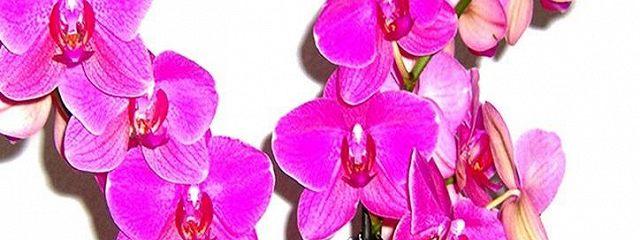 Мой @mir.orhidey. Как ухаживать за орхидеями, чтобы они цвели круглый год