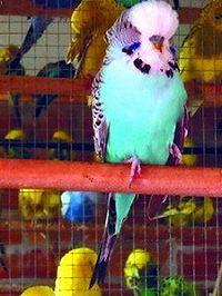 Е. В. Виноградова -Волнистые попугайчики